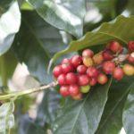 Koffiebessen aan de struik
